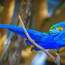 Blue-Throated Macaw - Ara glaucogularis by Edvin  Milkunic
