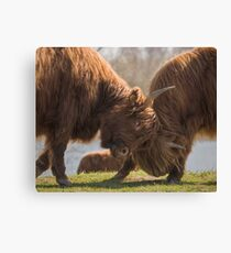 Bulls Fight  Canvas Print