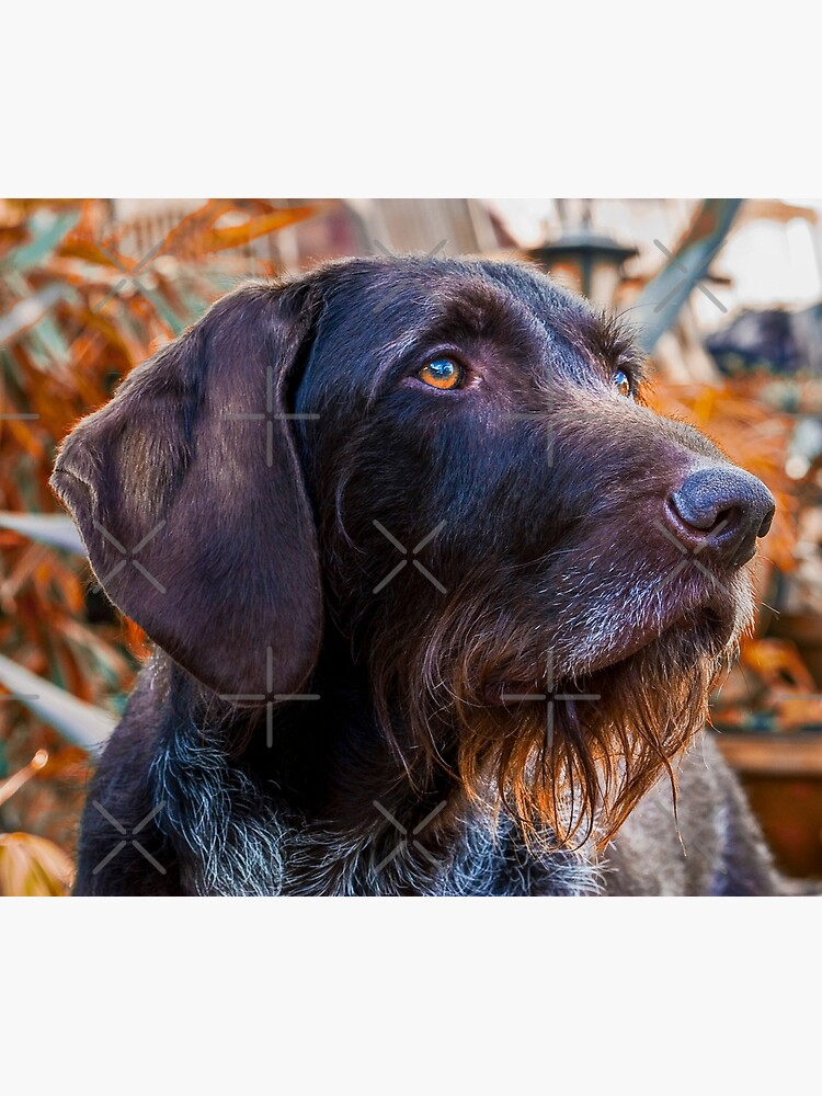 German Wirehaired Pointer Portrait by heidiannemorris