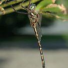 Australian Emerald Dragonfly by Andrew Trevor-Jones
