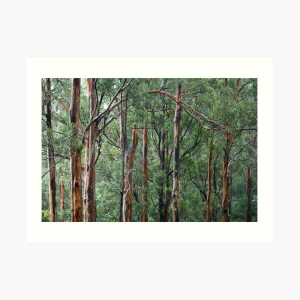 Gum Trees In The Rain Art Print