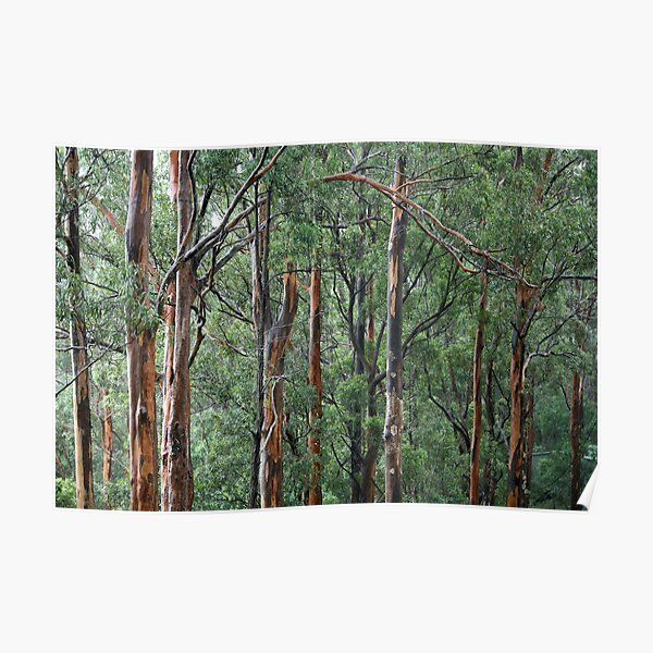 Gum Trees In The Rain Poster