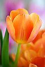 Tangerine Tulip by Extraordinary Light