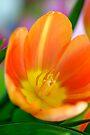 Open Tangerine Tulip by Extraordinary Light
