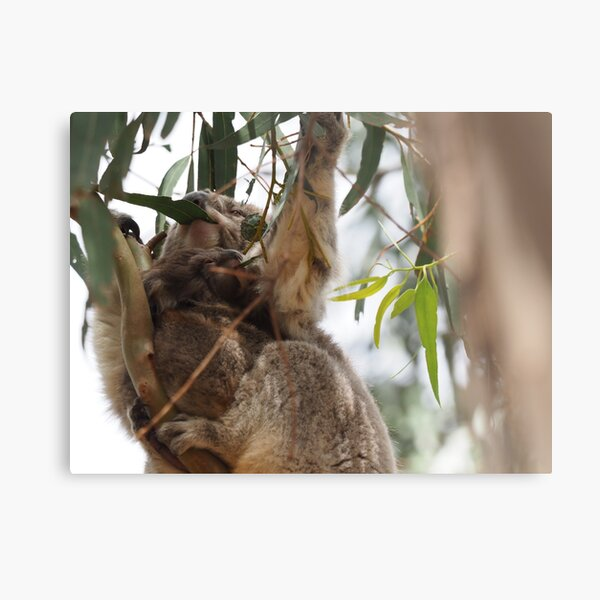 Koalas dining Metal Print