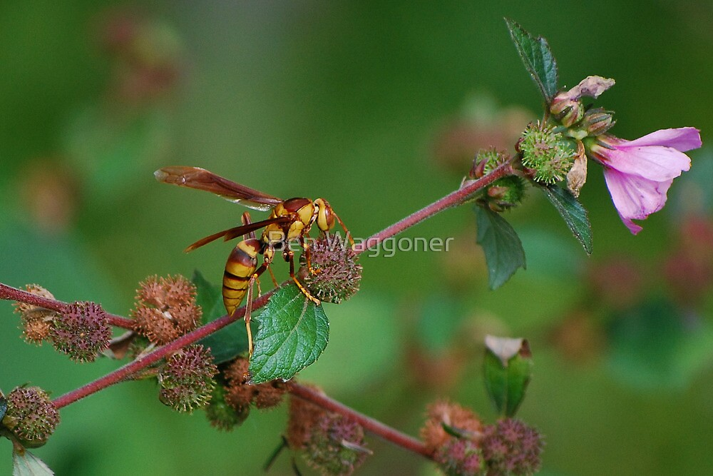 Yellow wasp gathering fibers 2 by Ben Waggoner