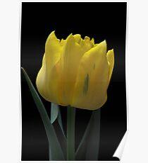 Tulipano Poster