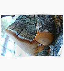 Fungus On A Poplar Tree Poster