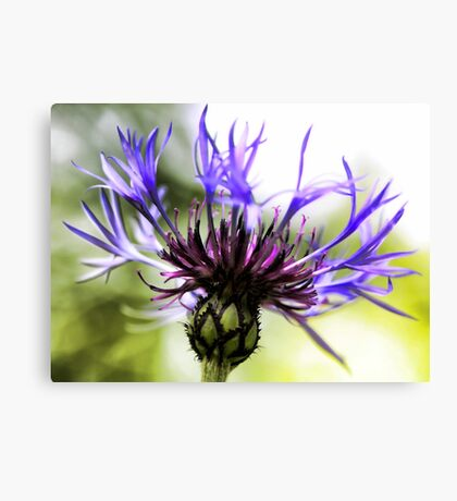 The Bachelor Button Canvas Print