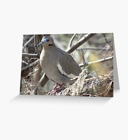 White-winged Dove Greeting Card