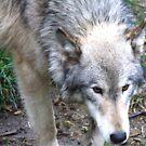 Wolf by carpenter777