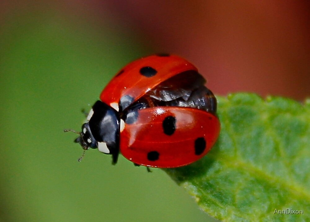7 Spot Ladybird Getting Ready for TakeOff by AnnDixon