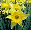 Spring means Daffodils by barnsis