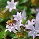 Honeybee on white flower by Ben Waggoner
