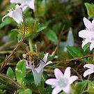 Honeybee on white flower 2 by Ben Waggoner
