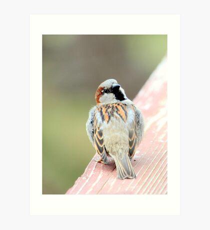 Male House Sparrow Art Print