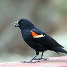 Male Red-Winged Blackbird by Renee Blake