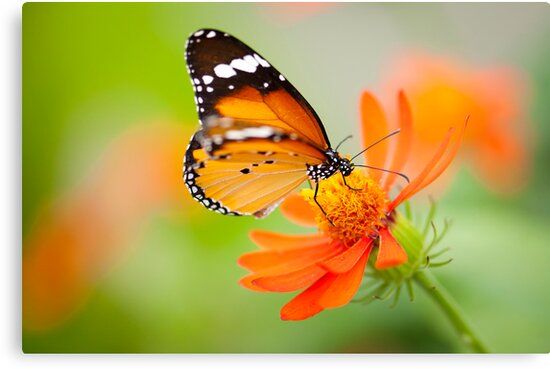 Butterfly 1 by Jacinthe Brault