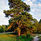 Lone Pine by the Lake by Paul Gitto