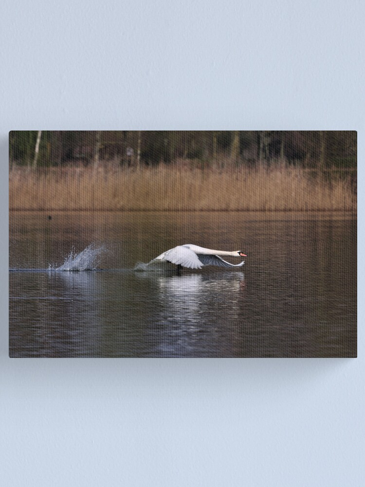 Alternate view of Swan Take-off Canvas Print