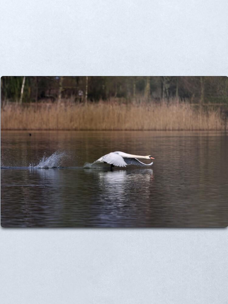 Alternate view of Swan Take-off Metal Print