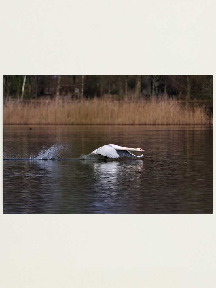 Alternate view of Swan Take-off Photographic Print