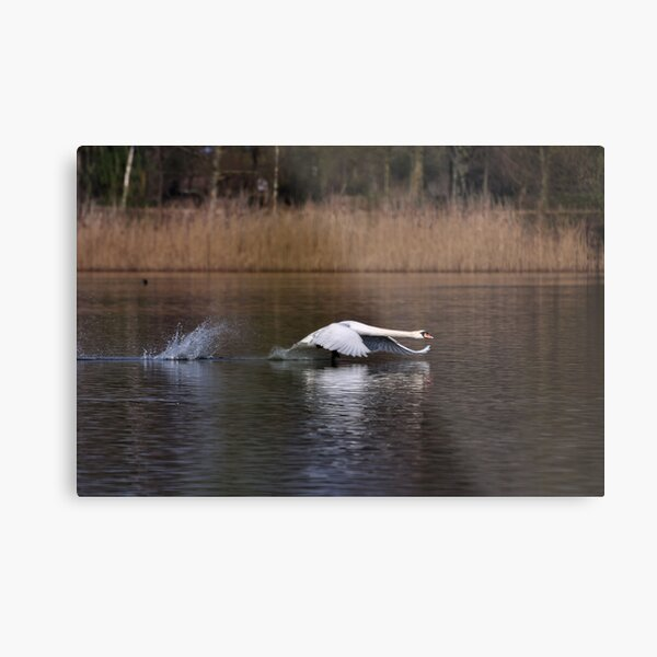 Swan Take-off Metal Print