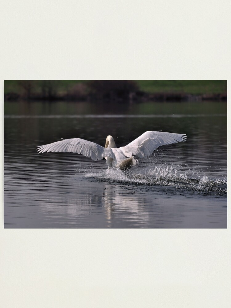 Alternate view of Swan: Landing Photographic Print