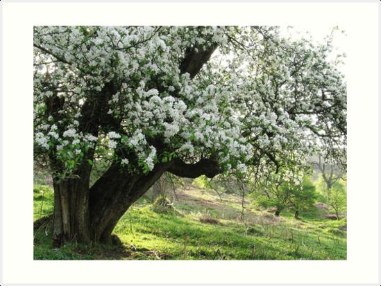 Crab apple tree on spring morning by Jane Corey