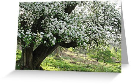 Crab apple tree on spring morning by Jane Corey