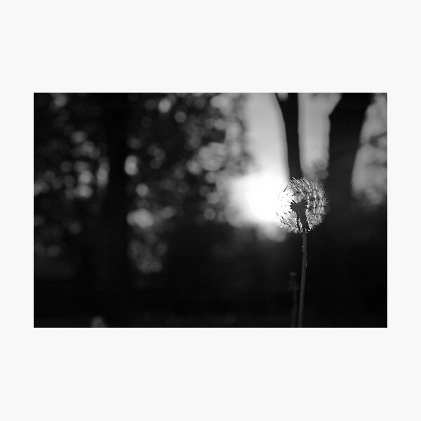 Dandelion at Sunset Photographic Print