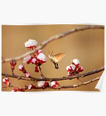 apricot  blossoms with hawk moth Poster