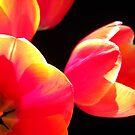 Red Tulips. by Vitta