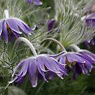 Pulsatilla vulgaris (Pasque Flower),  by AnnDixon