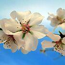 Blossom by mrvica