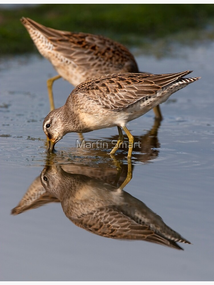 Dowitcher Reflections by MartinSmart