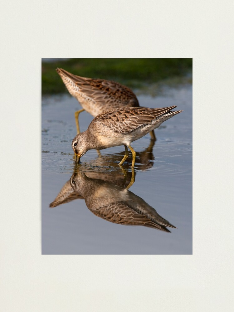 Alternate view of Dowitcher Reflections Photographic Print