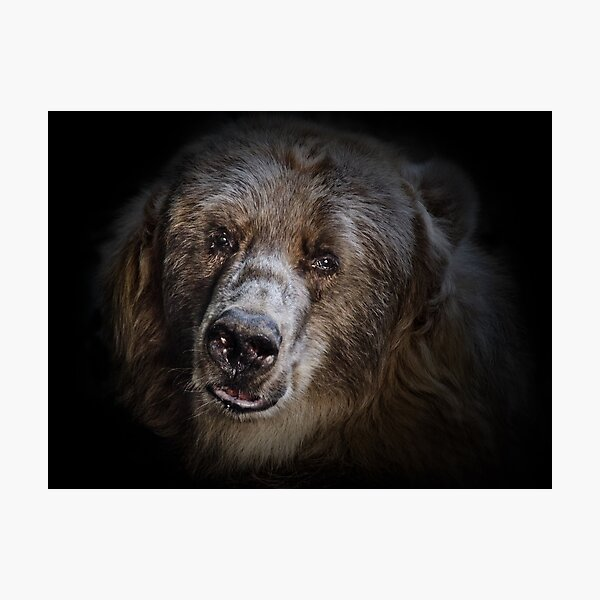 The Kodiak Bear Photographic Print