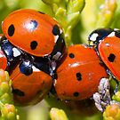 Ladybirds  by Geoff Carpenter