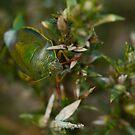 Gorse Shield Bug by jaffa