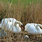 Wild swans nesting by Meladana
