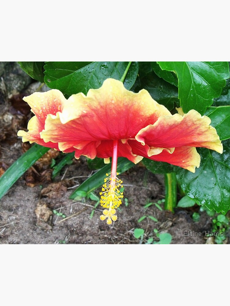 Hibiscus Beauty by feedback