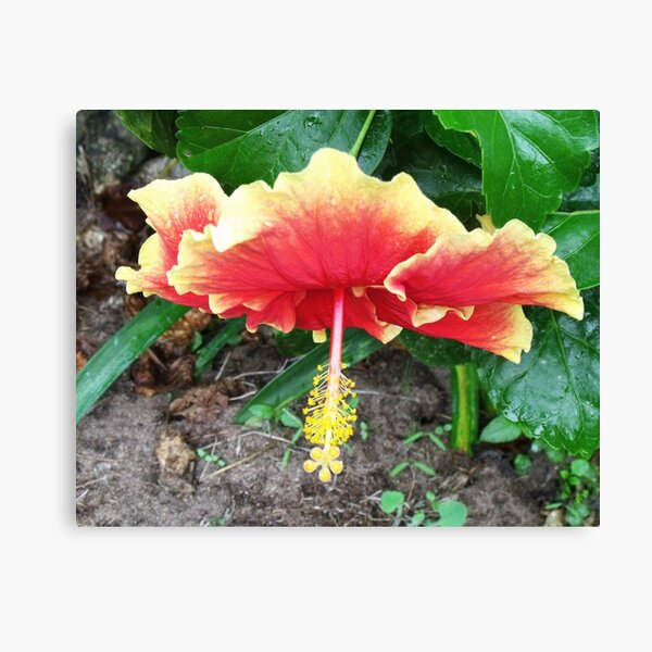 Hibiscus Beauty Canvas Print