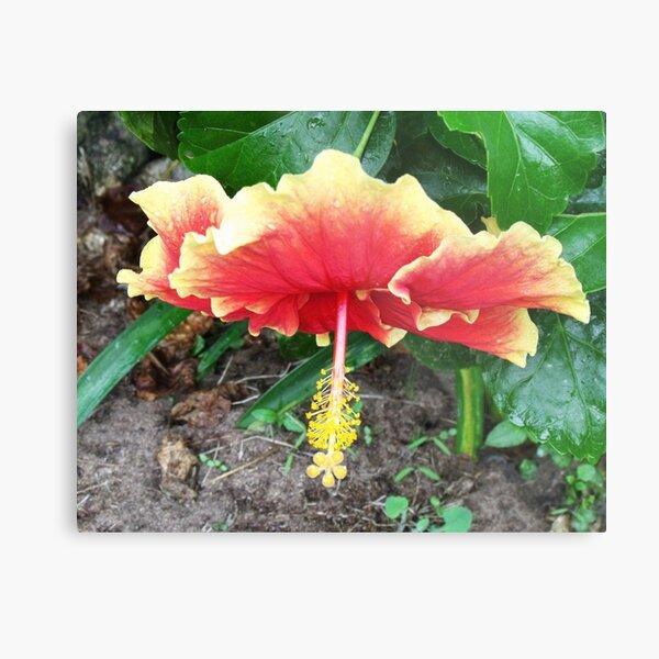 Hibiscus Beauty Metal Print