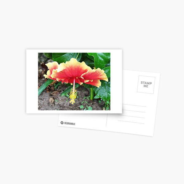 Hibiscus Beauty Postcard