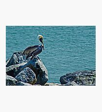 Perching Brown Pelican Photographic Print