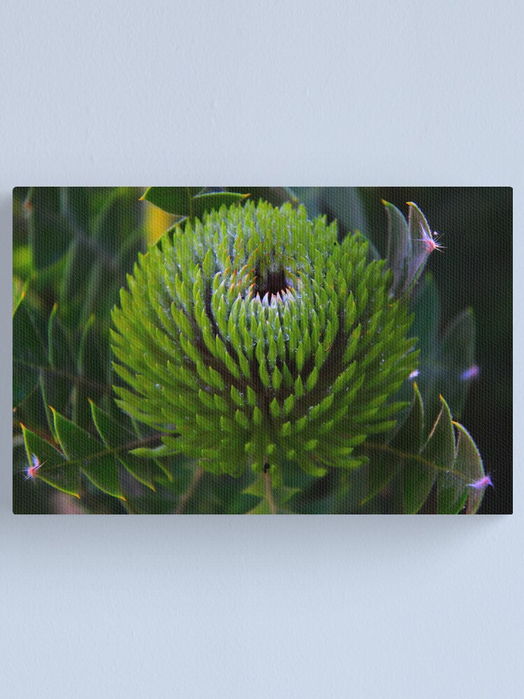 Alternate view of Banksia baxteri Canvas Print