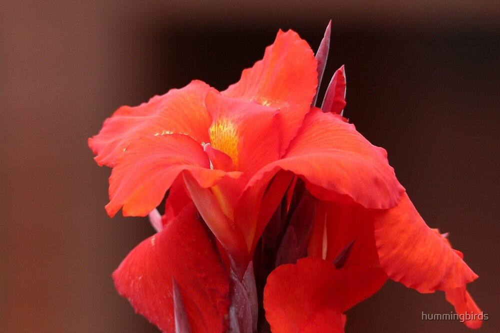 Red Canna Lilies by hummingbirds