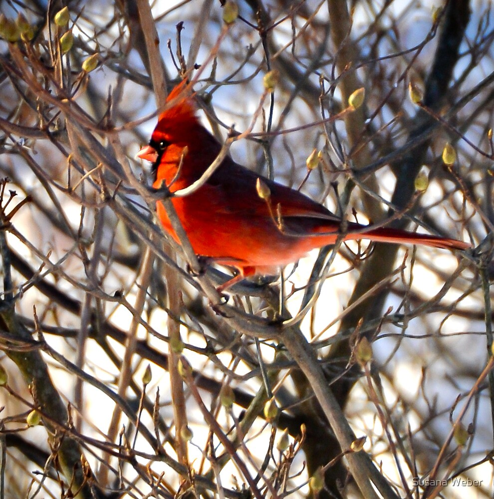 Cardinal in morning light by Susana Weber