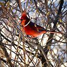 Cardinal in morning light by Susana Weber